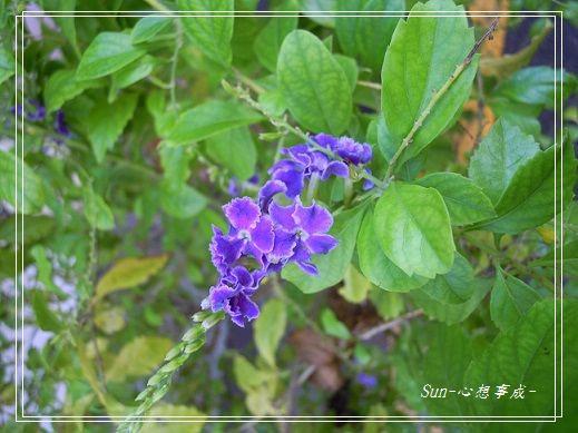 2013092803蕾絲金露花