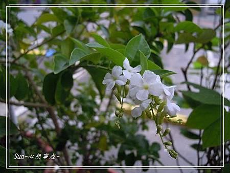2013100926白花金露花