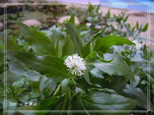 20131117050光葉臘菊