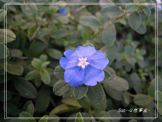 20131117121藍星花
