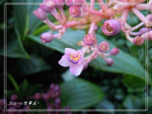 2013112315臺灣野牡丹藤.jpg