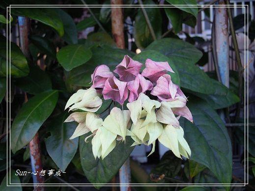 2013112346龍吐珠.jpg