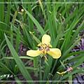 20140104051黃扇鳶尾