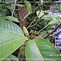 20140104073玉蘭花