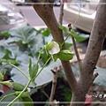 20140104103荷蘭豆花