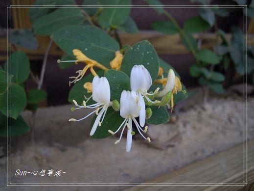 20140216009忍冬(金銀花).jpg