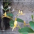 20140216011忍冬(金銀花).jpg