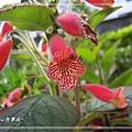 20140223031苦苣苔科花貓.jpg