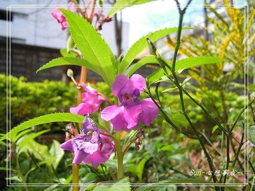20140223035鳳仙花.jpg