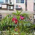 20140223040鳳仙花.jpg