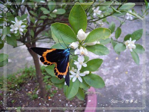 20140228018橙帶藍尺蛾.jpg