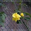 20140228036雲南黃馨.jpg