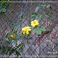 20140228037雲南黃馨.jpg