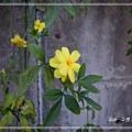 20140228041雲南黃馨.jpg