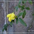 20140228042雲南黃馨.jpg
