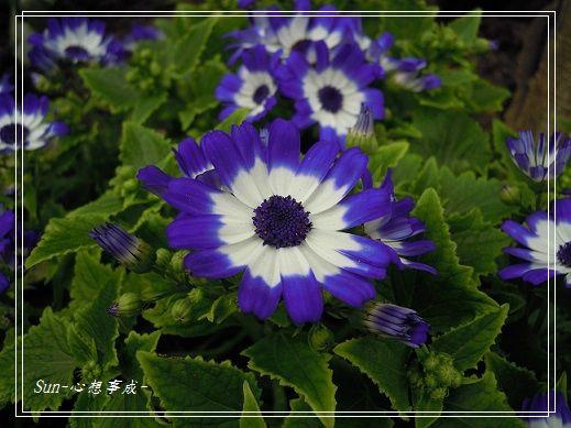 20140301046瓜葉菊.jpg