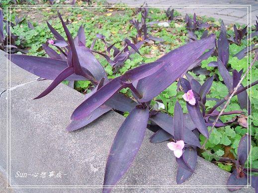 20140322067紫錦草.jpg