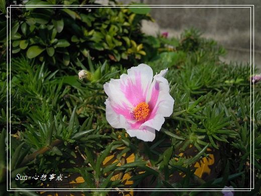 20140323009松葉牡丹.jpg