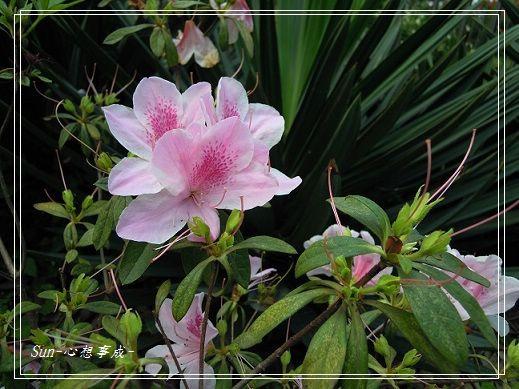 20140404195杜鵑花.jpg
