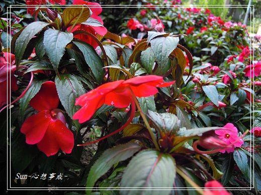 20140412066新幾內亞鳳仙花.jpg
