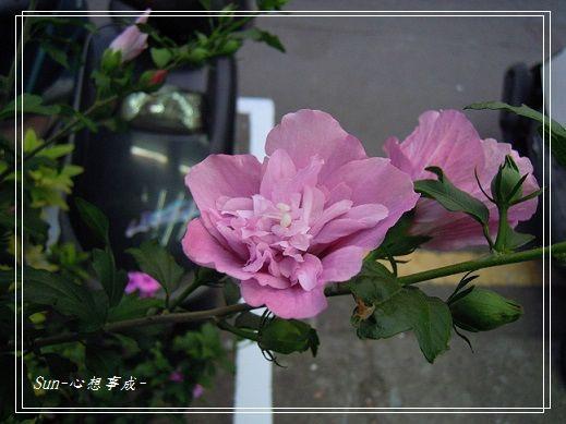 20140419014木槿.jpg