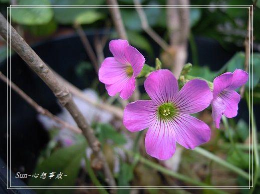 20140420023紫花酢漿草.jpg