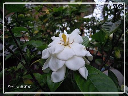20140503040黃梔子.jpg