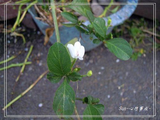 20140503049白鶴靈芝.jpg
