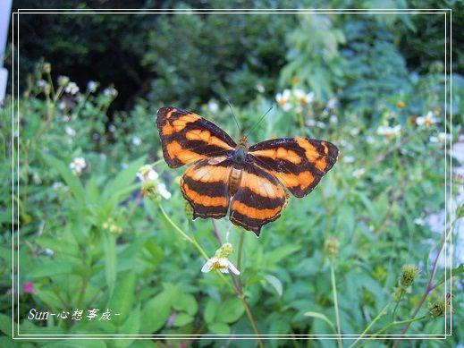 20140625017寬紋黃三線蝶.jpg