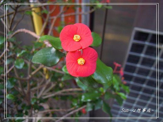 20140627027無刺麒麟花.jpg