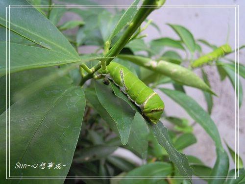 20140727033無尾鳳蝶幼蟲.jpg