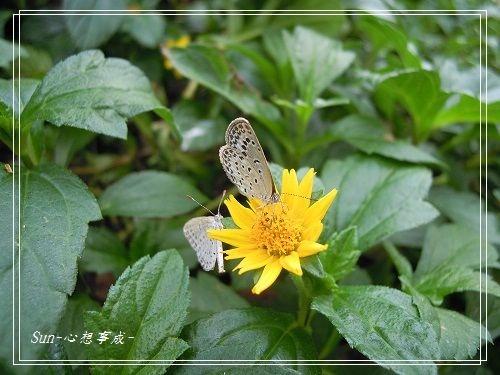 20140817057沖繩小灰蝶.jpg