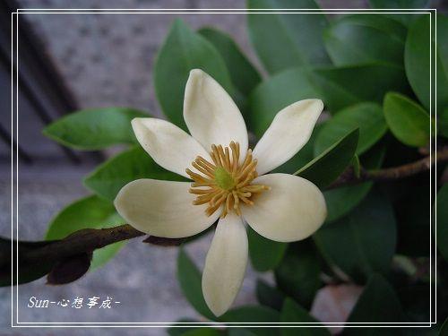 20140906075含笑花.jpg