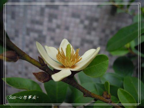 20140906076含笑花.jpg