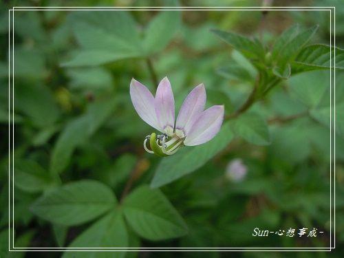 20140908002平伏莖白花菜.jpg