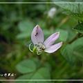 20140908007平伏莖白花菜.jpg