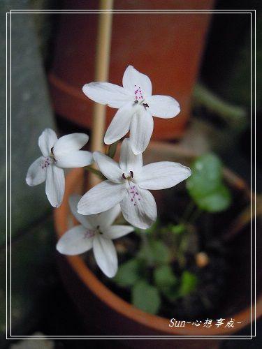 20140916010多變擬美花.jpg