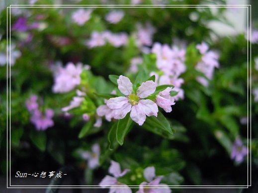 20141011032細葉雪茄花.jpg