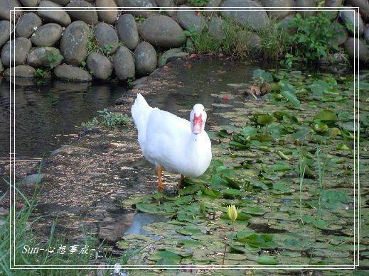 20141129015白鴨.jpg