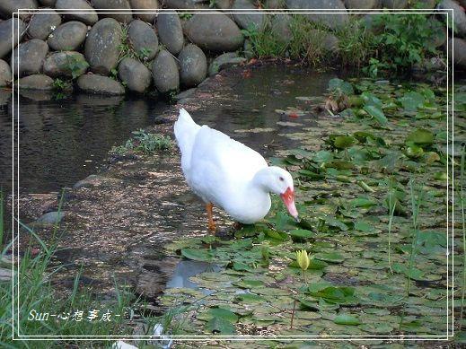 20141129016白鴨.jpg