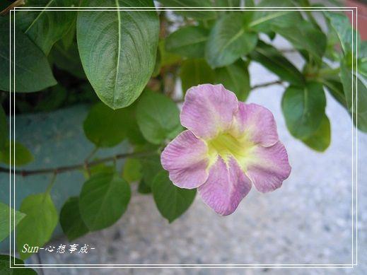20141129027赤道櫻草.jpg