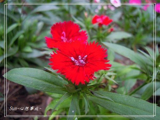 20141130092石竹.jpg