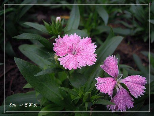 20141130094石竹.jpg
