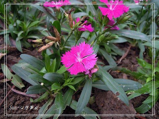 20141130093石竹.jpg