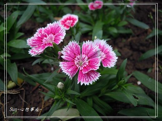 20141130097石竹.jpg