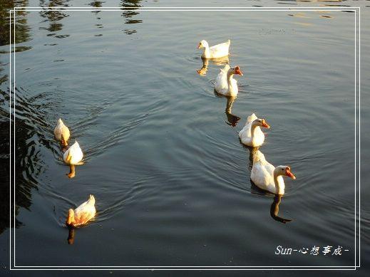 20141230035白鵝.jpg