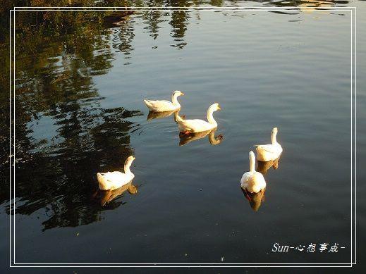 20141230038白鵝.jpg