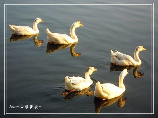 20141230040白鵝.jpg