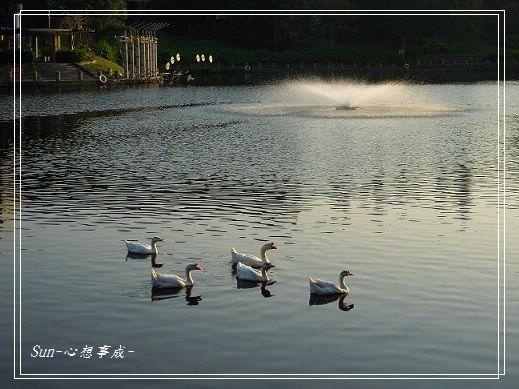 20141230043白鵝.jpg