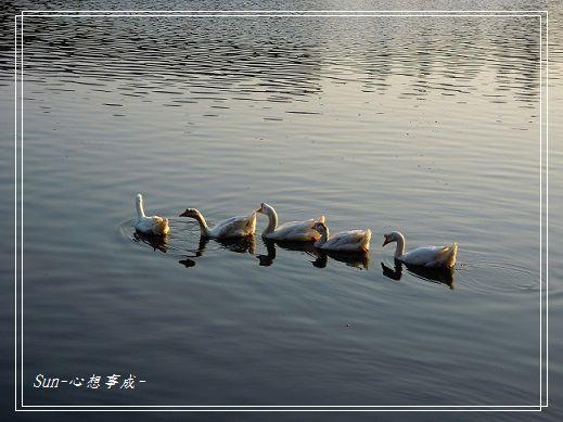 20141230041白鵝.jpg